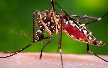 A female Aedes aegypti mosquito ingesting a blood meal.